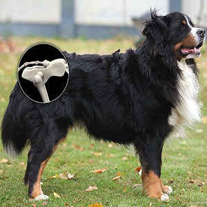 Cómo es la displasia de cadera en perros adultos