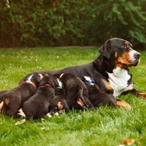 prevenir la mastitis en los perros