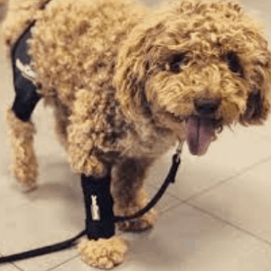 Tratamientos para la artrosis en los perros