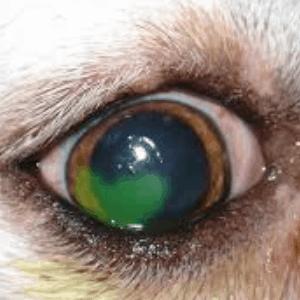 Úlcera corneal en los perros