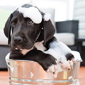 Champús para los Piojos en los Perros