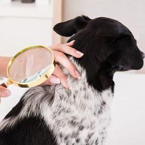 Diagnóstico de los Piojos en los perros