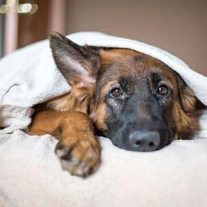 El cáncer en los perros tiene cura