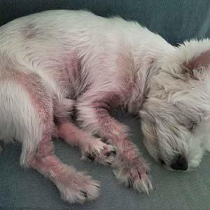 Caída de pelo en los perros por hongos