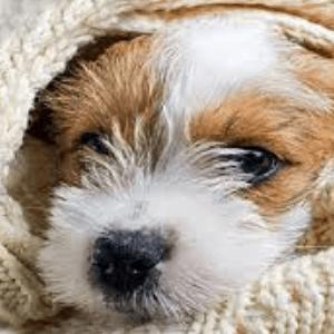 Neumonía bacteriana en los perros