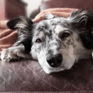 Neumonía en los perros