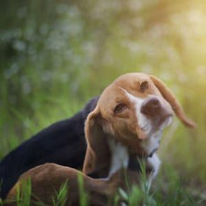 Prevenir los Piojos en los Perros