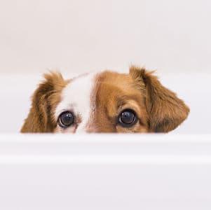 Remedios Caseros para la Caspa en los Perros