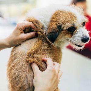 Síntomas de Piojos en los Perros