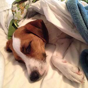 Cómo ayudar a un perro con gastritis