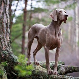 cáncer de próstata en perros