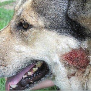 Caída de pelo en los perros por alergias