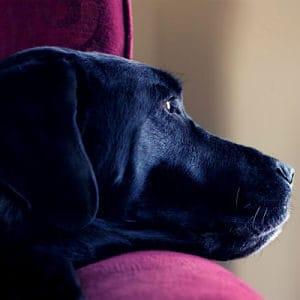 linfoma en perros