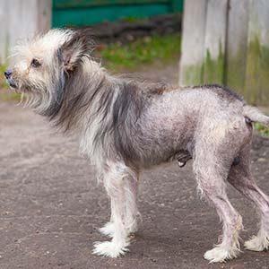 Caída de pelo en los perros por mala alimentación