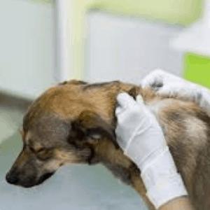 prevenir el cáncer de piel en los perros