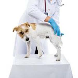 Tratamiento médico de la pioderma en los perros