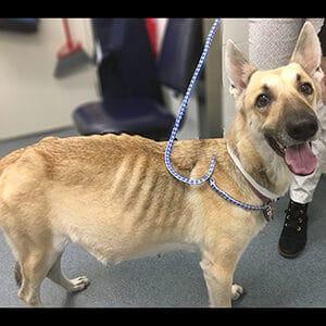 Cómo se puede prevenir la ascitis en los perros