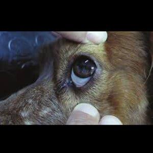 Síntomas de la erliquia en los perros