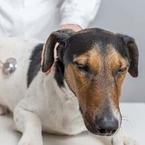Tratamiento para la ascitis en los perros