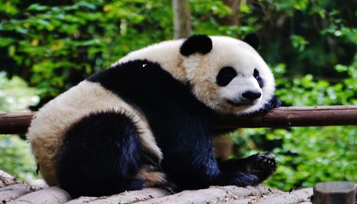 datos curiosos de los pandas