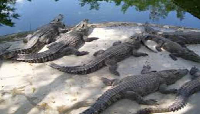 datos curiosos de los cocodrilos