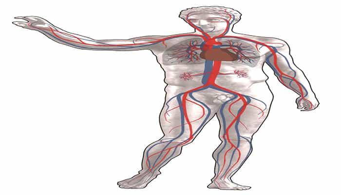 datos curiosos del sistema circulatorio