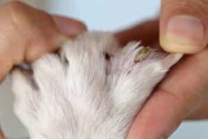 erliquiosis en perros